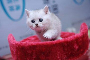 广州猫舍哪里有卖银渐层猫健康纯种哪买好呢