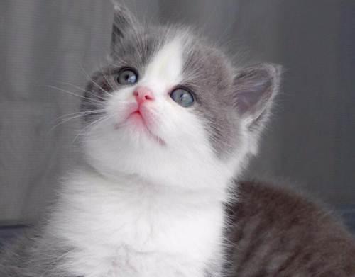 东莞猫舍哪里有卖蓝白猫咪 疫苗齐全高品质蓝白