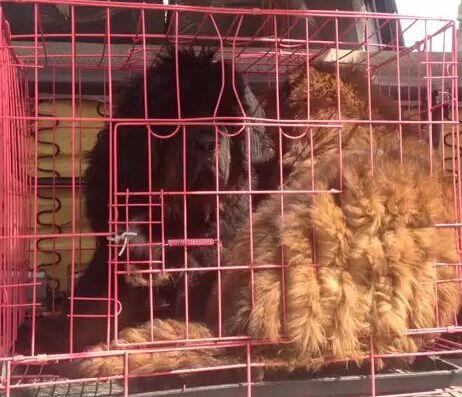 云南红河州附近哪里有藏獒卖多少钱狗场藏獒常年出售