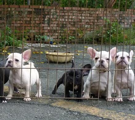云南文山哪里有人卖法斗狗场常年卖法国斗牛犬