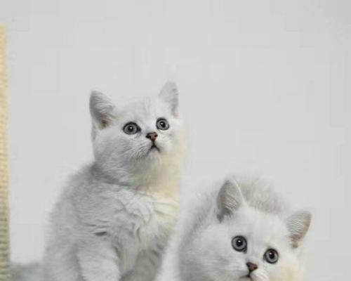 繁殖英国短毛猫深圳哪里有卖银渐层猫