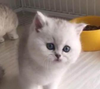 高品质英短银渐层,哪买猫咪健康广州哪里有卖银渐层猫