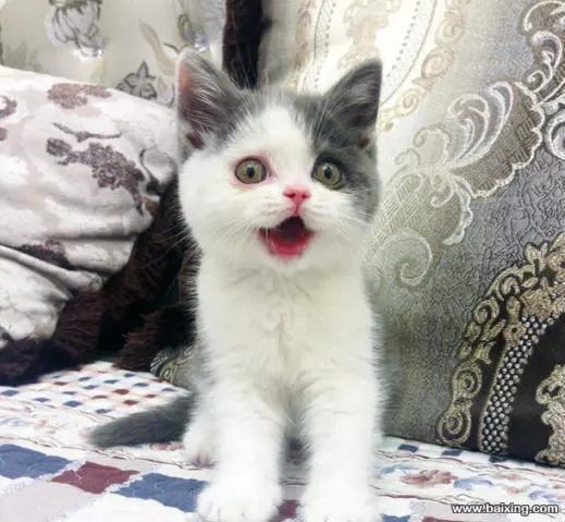 公母均有价格美丽蓝白猫咪,珠海哪里有卖蓝白