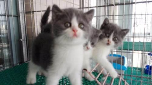 自家繁殖蓝白猫,疫苗打齐,广州哪里有卖蓝白猫