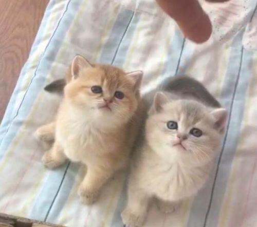 实地挑选高品质金渐层猫咪,广州哪里有卖金渐层猫