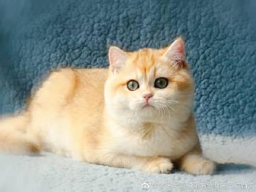 金渐层猫多少钱 金渐层照片珠海哪里有卖金渐层猫