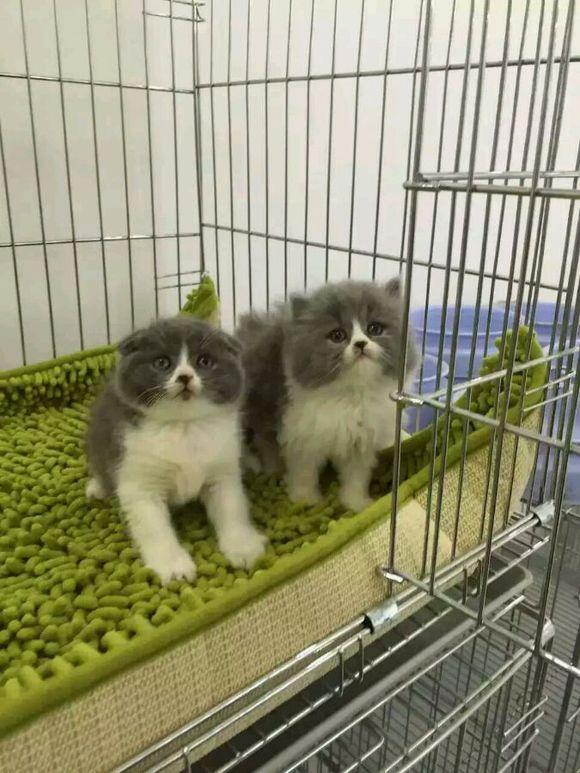 英短蓝白猫惠州哪里有卖蓝白猫,健康猫咪就在康达猫舍
