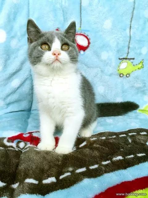 蓝白英短小猫猫舍位置在哪,惠州哪里有卖蓝白猫咪