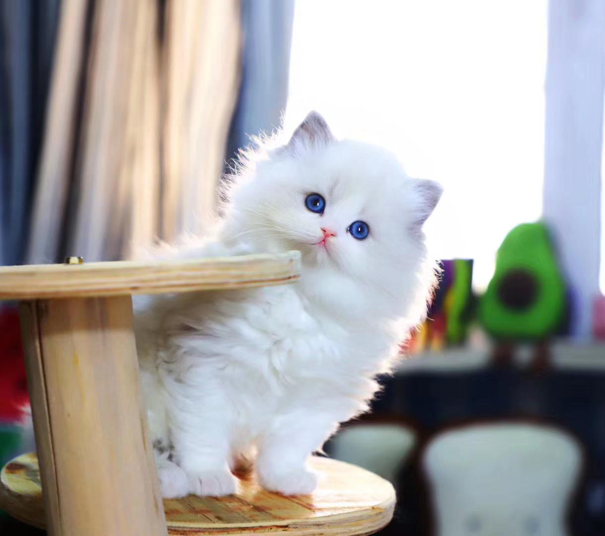 官方推荐猫舍 7天无理由退货 正规CFA猫舍 出售缅因猫