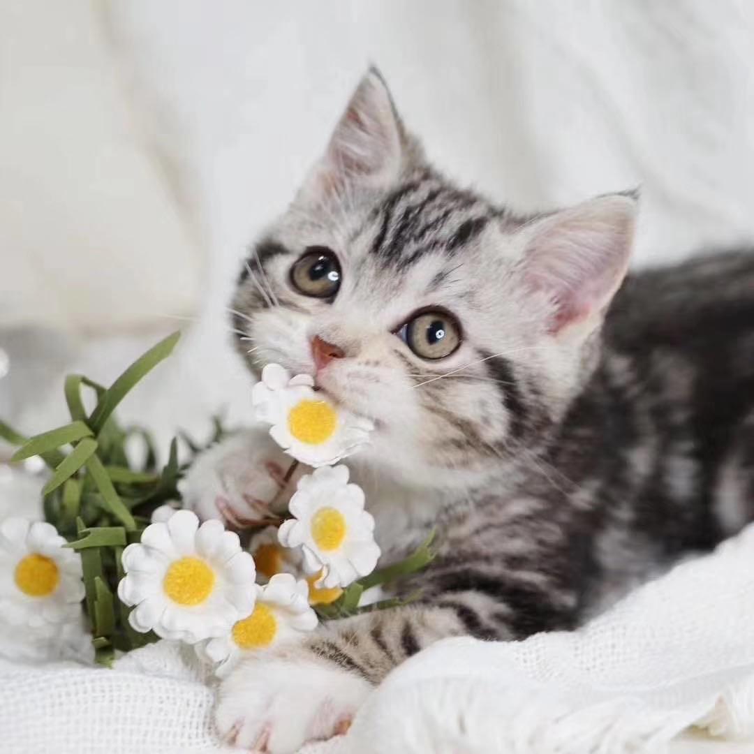 官网推荐已认证 美国短毛猫出售 可签订合同!▊CAF认证▊