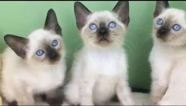 ▊官网推荐已认证▊精品暹罗猫出售▊CAF认证▊质量第一▊