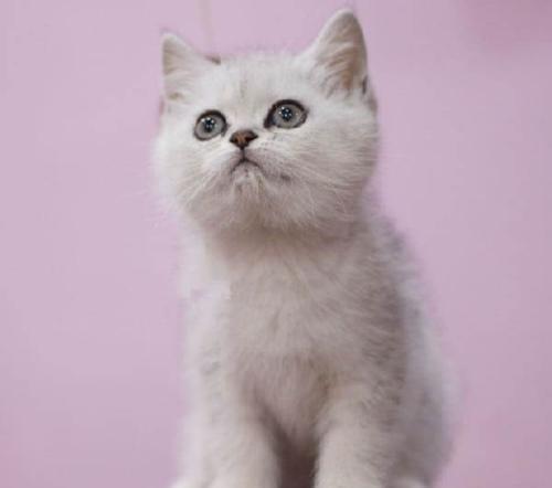 银渐层小猫出售,买猫首选康达猫舍惠州哪里有卖银渐层猫