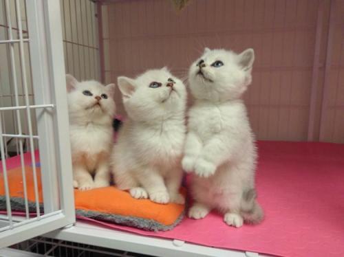 卖银渐层的地方康达猫舍口碑非常好东莞哪里有卖银渐层猫