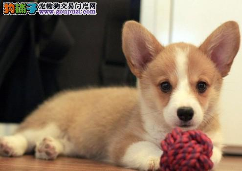 纯种柯基幼犬出售 基地宠物现货挑选 货真价实