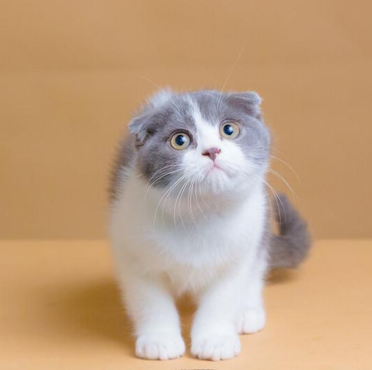 折耳猫 折耳猫幼猫 折耳猫小猫 网红折耳猫 折耳猫价格