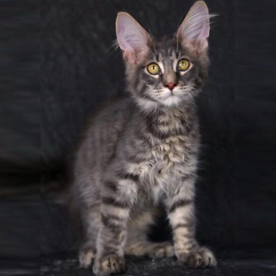 缅因猫 纯种缅因猫 缅因猫小猫 缅因猫幼猫 网红缅因猫