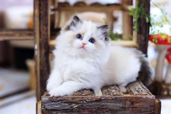 布偶猫 纯种布偶猫 布偶猫幼猫 纯种布偶猫 布偶猫价格
