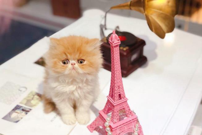 波斯猫 纯种波斯猫 波斯猫小猫 波斯猫幼猫 网红波斯猫
