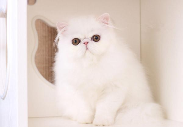 波斯猫 纯种波斯猫多少钱 网红波斯猫 波斯猫小猫出售