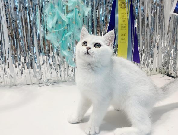 英国短毛猫 纯种英短银渐层多少钱 网红银渐层猫小猫出售