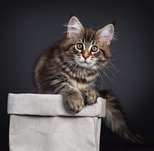 缅因猫 纯种缅因猫多少钱 网红缅因猫 缅因猫小猫