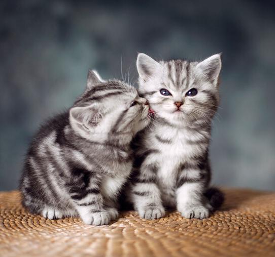 美国短毛猫 纯种美国短毛猫多少钱 网红美国短毛猫小猫
