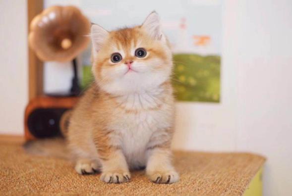 英国短毛猫 英短多少钱 英短蓝猫 英短加白 金渐层 银渐层