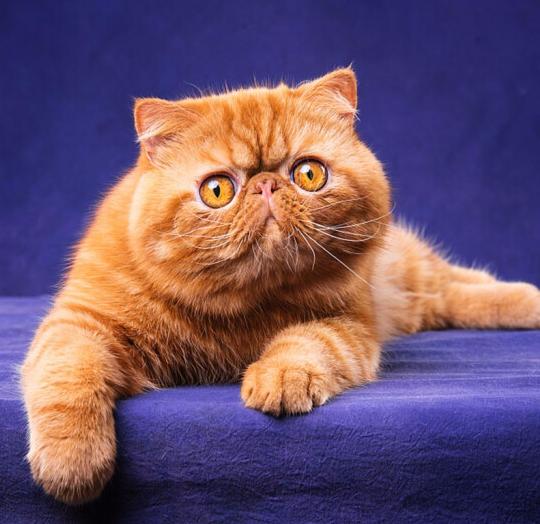 加菲猫 纯种加菲猫多少钱 网红加菲猫小猫出售