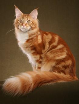 本地缅因猫多少钱一只 哪里有卖缅因猫 疫苗齐全