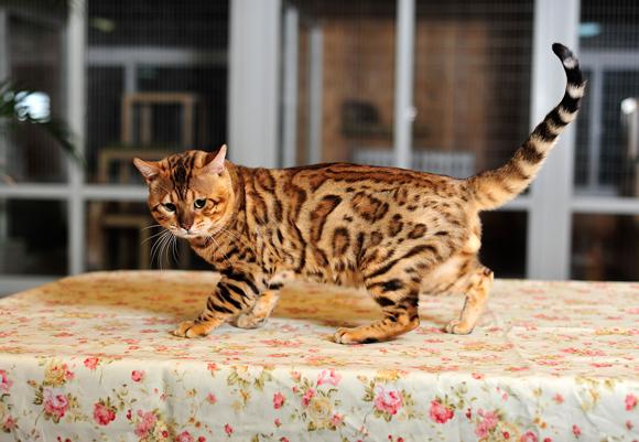 哪里有孟加拉豹猫卖的 豹猫多少钱 疫苗齐全保证健康