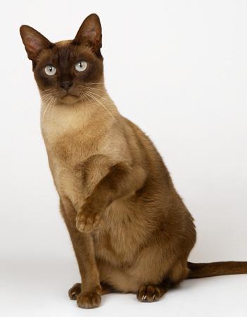 缅甸猫哪里有卖 好养吗 缅甸猫多少钱