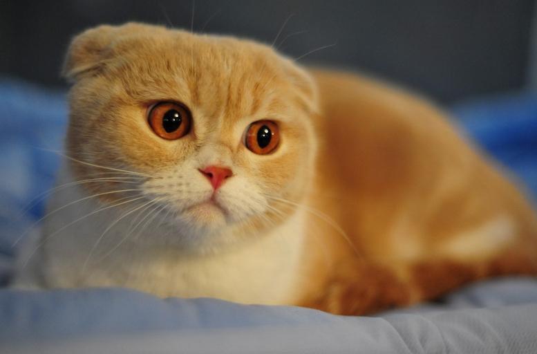 哪里有纯种折耳猫幼猫卖 折耳猫粘人吗 折耳猫性格