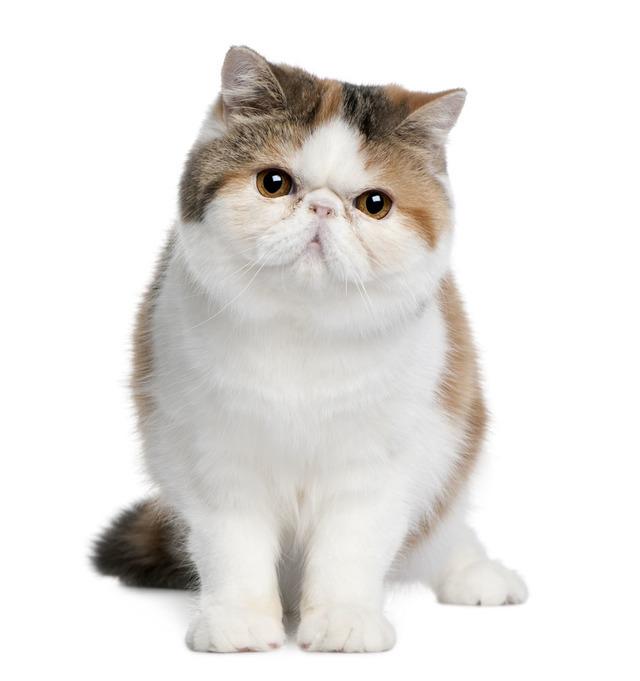 波斯猫哪里有卖的 波斯和加菲的区别 多少钱一只 图片