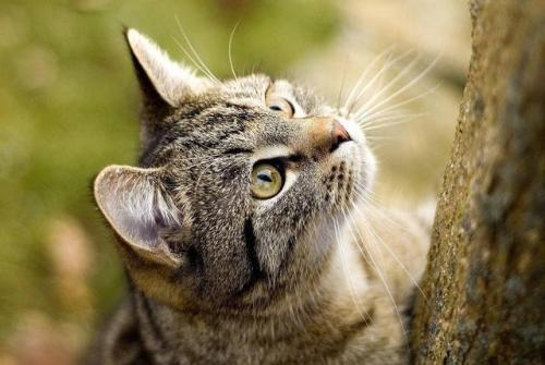 正规猫舍繁育直销健康中华田园猫,土猫幼猫,田园猫活体图片