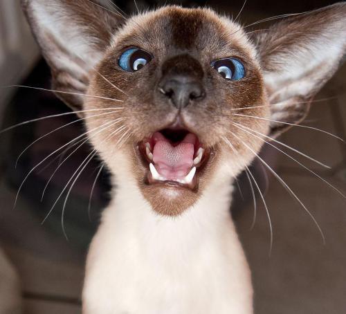 正规猫舍繁育直销纯种健康暹罗猫,暹罗猫幼猫,暹罗猫活体图片