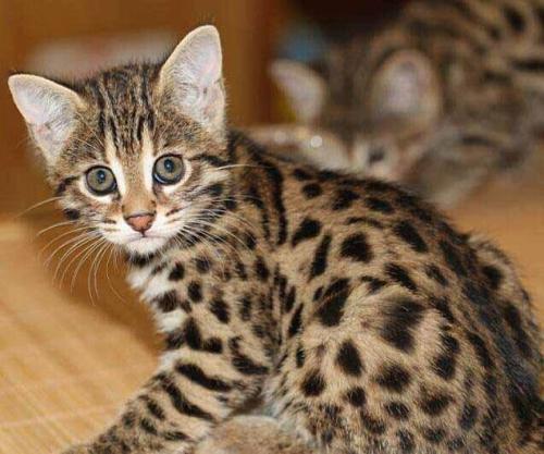 正规猫舍繁育直销纯种健康豹猫,纯种豹猫幼猫,豹猫活体图片