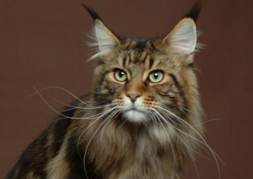 正规猫舍繁育直销纯种健康缅因猫,缅因猫幼猫,缅因猫活体图片