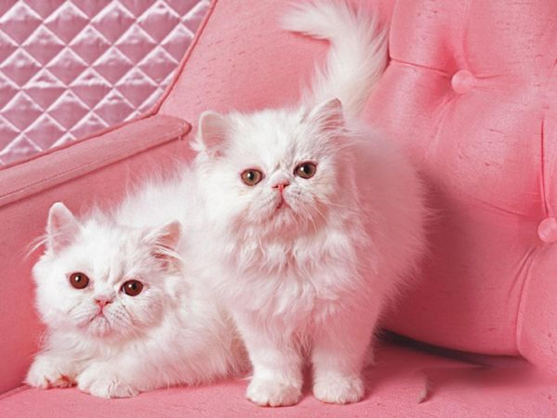 正规猫舍繁育直销纯种健康波斯猫,波斯猫幼猫,波斯猫活体图片