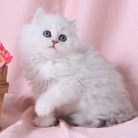 正规猫舍繁育直销纯种健康金吉拉,金吉拉幼猫,金吉拉活体图片