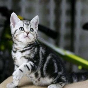 正规猫舍出售精品美短猫幼崽 品质保障 包纯种包健康