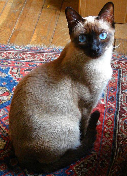 正规猫舍出售精品暹罗猫幼崽 品质保障 包纯种包健康
