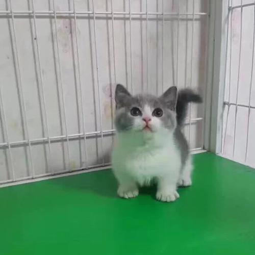 正规猫舍出售精品曼基康猫幼崽 品质保障 包纯种包健康