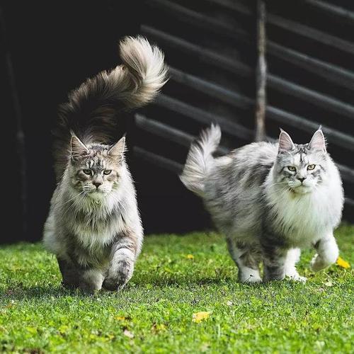 正规猫舍出售精品缅因猫幼崽 品质保障 包纯种包健康