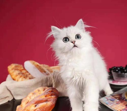正规猫舍出售精品金吉拉猫幼崽 品质保障 包纯种包健康