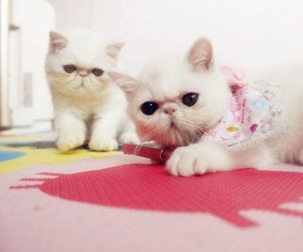 正规猫舍出售精品加菲猫幼崽 品质保障 包纯种包健康