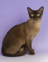 正规猫舍出售精品缅甸猫幼崽 品质保障 包纯种包健康