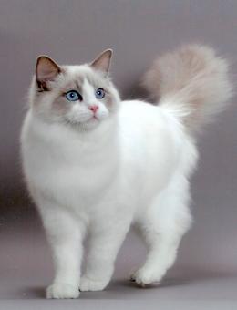 正规猫舍出售精品布偶猫幼崽 品质保障 包纯种包健康
