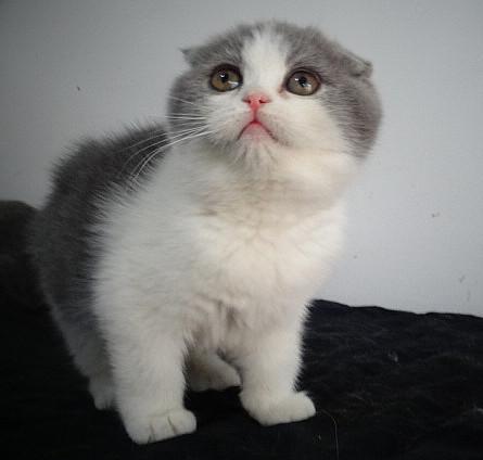 深圳哪里有卖折耳猫,苏格兰折耳猫一只多少钱