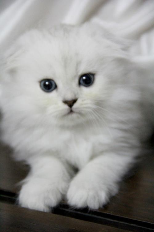 健康猫咪东莞哪里有卖折耳猫购买签订协议。半年包退换