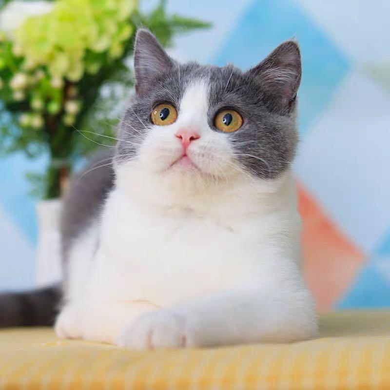 CFA注册猫舍 蓝白英短猫纯种英国短毛猫幼猫 可上门挑选